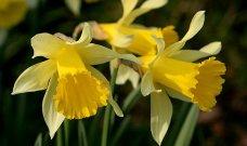 """Daffodil atau suisen dalam Bahasa Jepang. Dalam hanakotoba, suisen bermakna """"respect""""."""